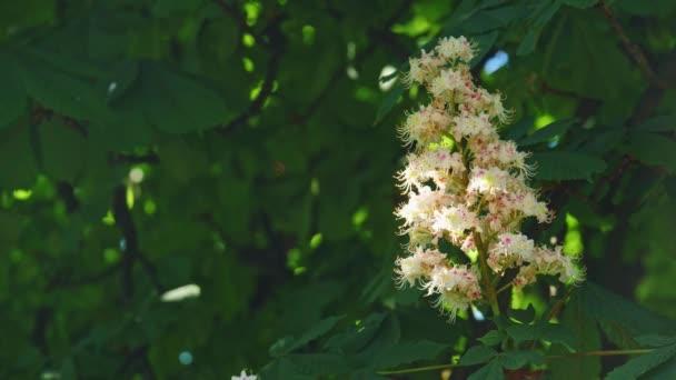 Detail kaštanového květu. kaštanem listy za slunečného dne. Zastřelen v 10 bit 422