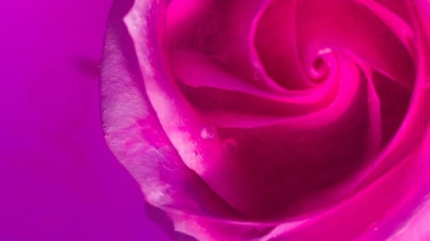 Top view of a beautiful rose in spreading paint. Close-up