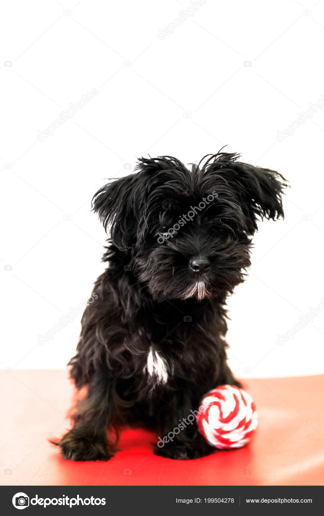 Small Black Dog Morkie Yorktese Malkie Months Old Puppy Red Stock