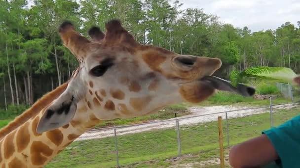 žirafa jíst salát