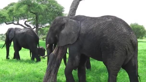 Slon africký škrábání
