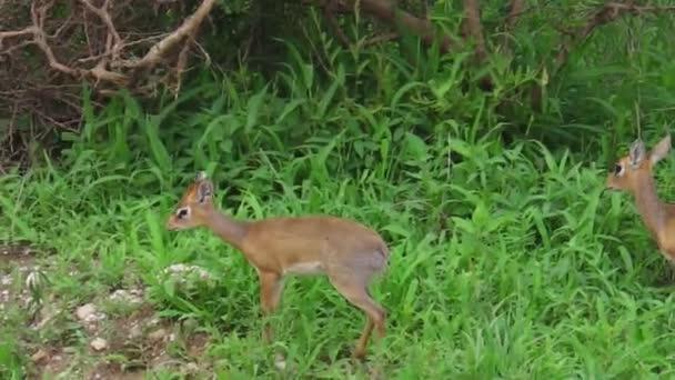 dik dik antelopes