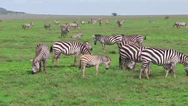 Gregge delle zebre con poco