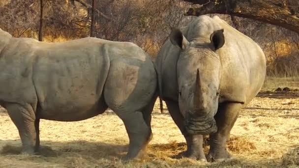Namibie nosorožec tuponosý
