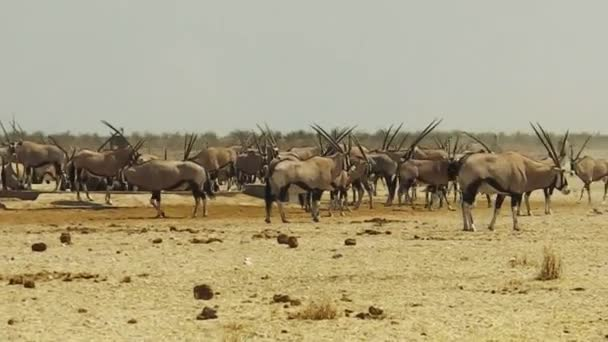 branco di orici in Namibia