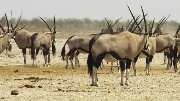 Oryx von Namibia