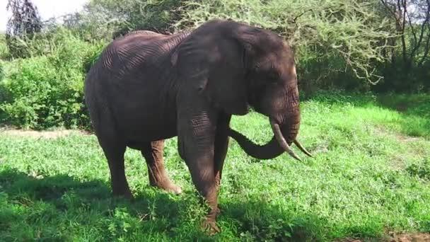 Elefánt eszik fű