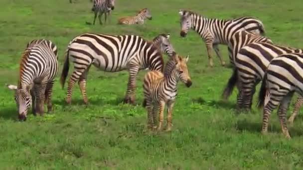 Zebras herd with baby