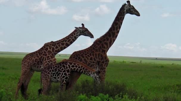 žirafy pár s dítětem
