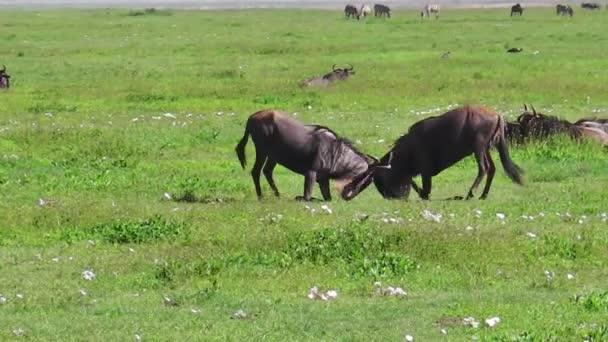 Wildebeest blu di combattimento
