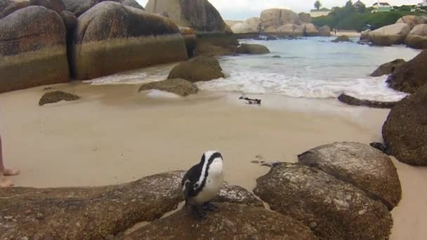 Close-up of penguins on granitic rocks of Boulder Beach. The famous colony of African penguins is located near Simons Town and Cape Town, South Africa. Boulders Beach is part of Table Mountain NP.