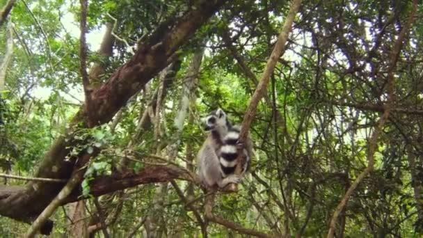 a maki, madagaszkári