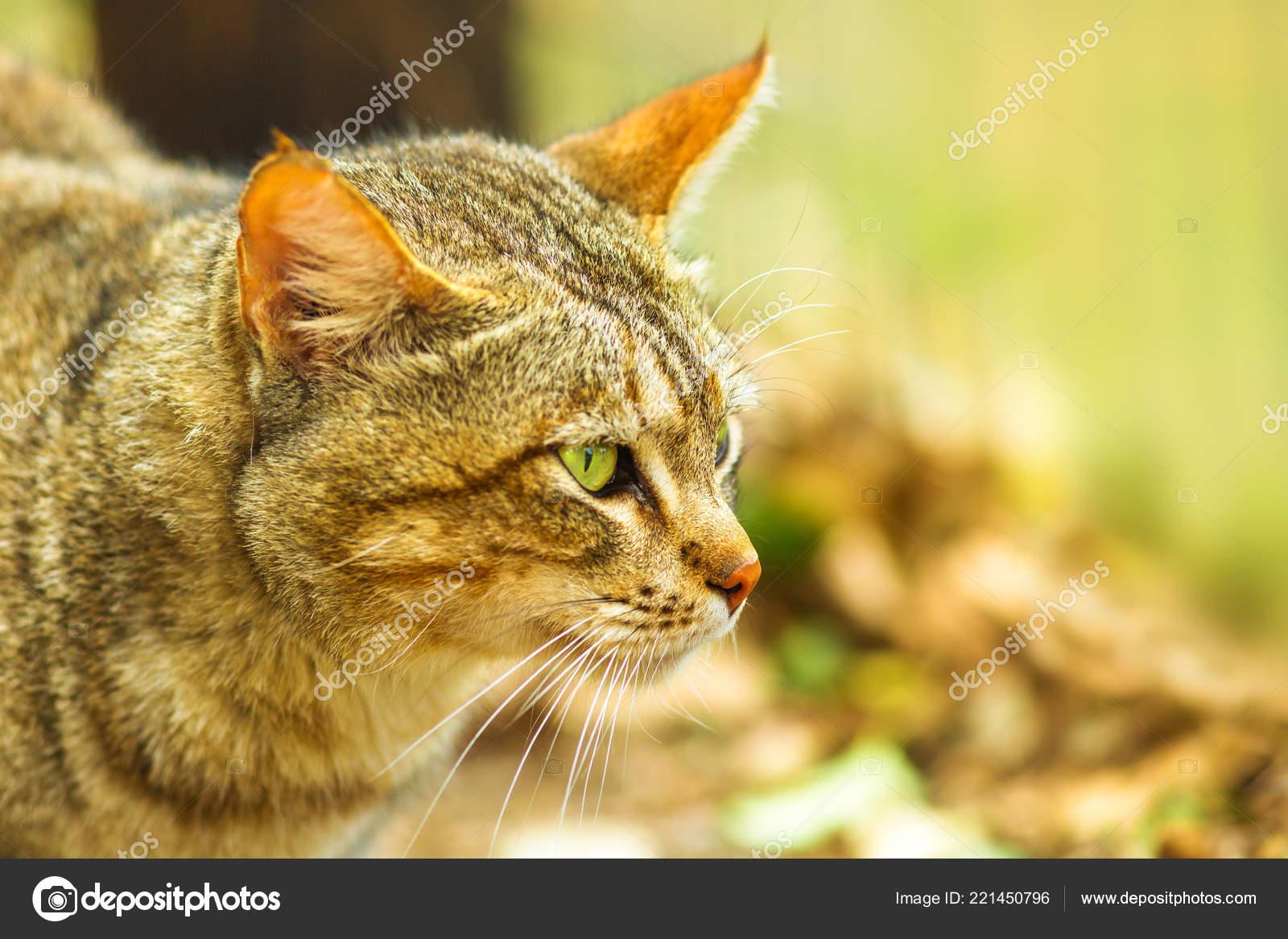 divoká africká kočička