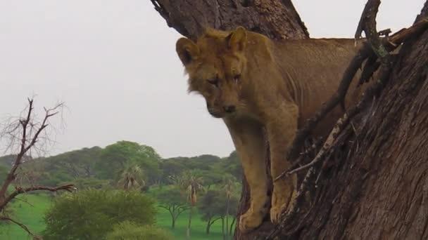 fiatal hím oroszlán Tarangire Nemzeti Park