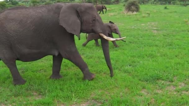 Africký slon s tele