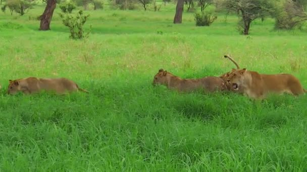 African lion pride greeting