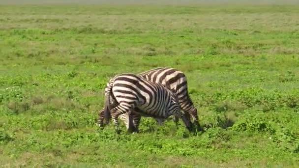 zebry v Ngorongoro