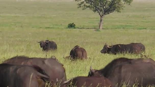 bufalo del capo che pasce