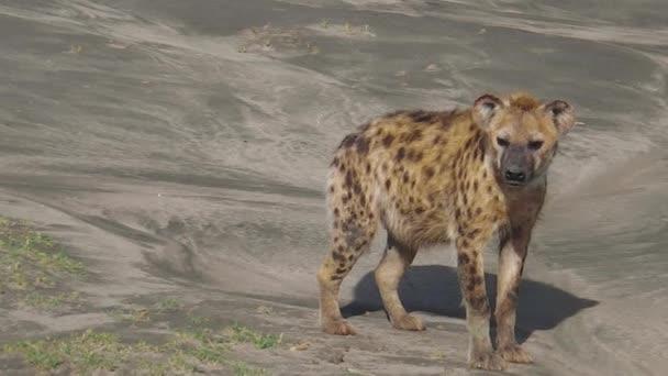 Tanzanian Spotted Hyenas