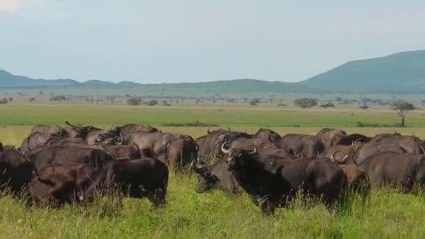 mandria di migrazione di bufali del capo nel Serengeti