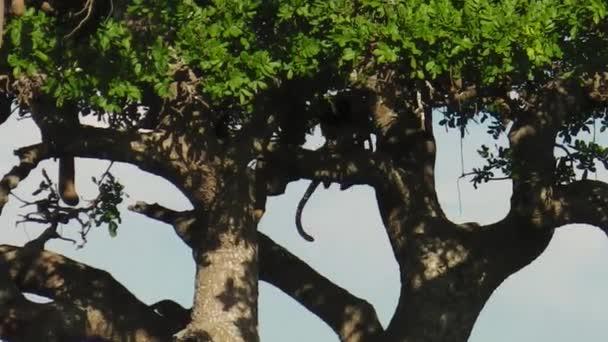 Leopard taking a prey on a tree