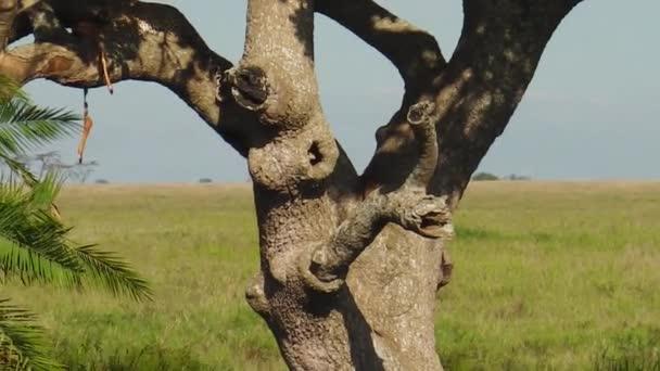 Leopard cub climbing a tree of Serengeti