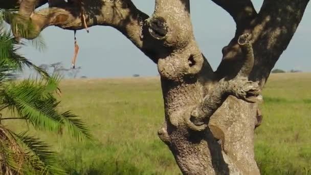 Leopard cubs climbing a tree of Serengeti