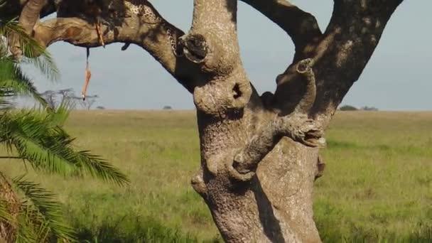 Leopard cub resting on a tree