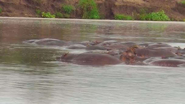 ippopotamo di nuoto nel fiume