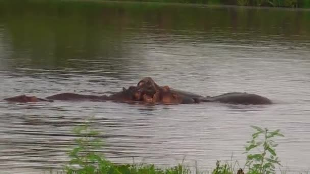 hippos fighting for domination