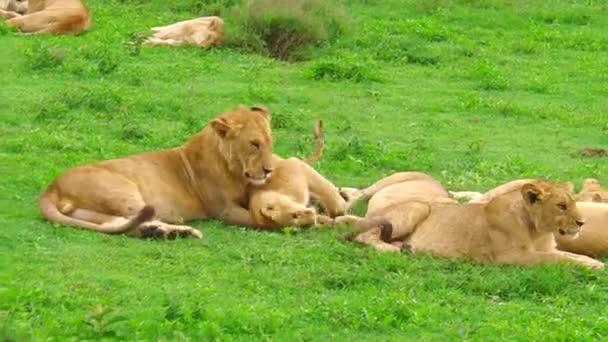 African lions Ndutu Area of Ngorongoro