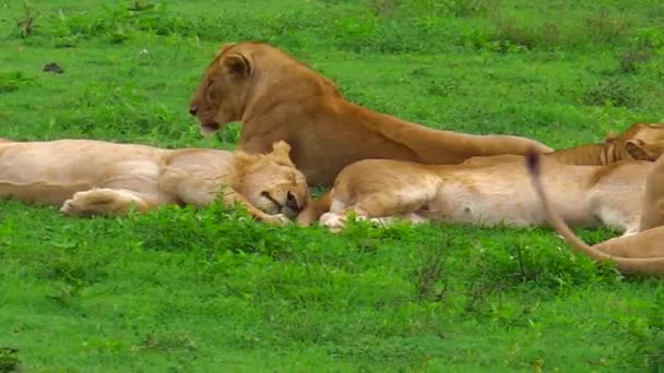 Africký Lev pýchu v Ngorongoro