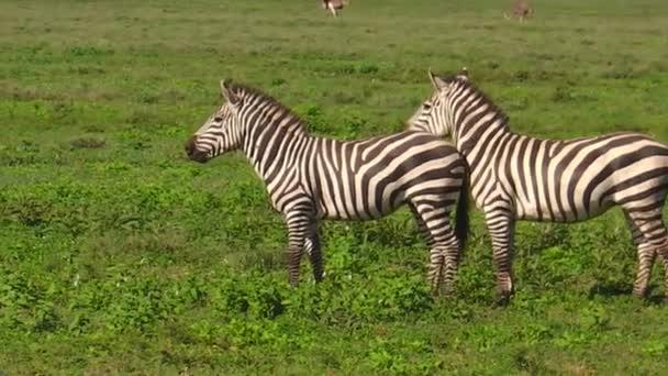 Ndutu-két közös zebrák