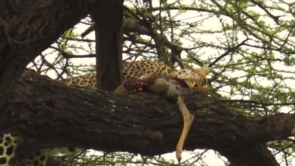 Leopard eating a prey on a tree