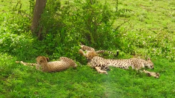 young cheetah cubs resting