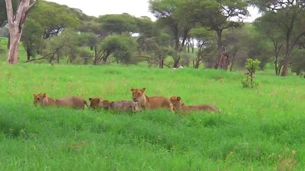 African lion pride meeting