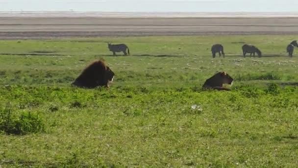 Lví samec a samice