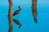 Africké openbill čáp pták