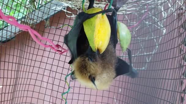 Fruchtfledermaus isst Mango