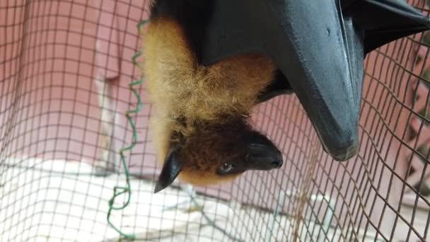 fliegender Fuchs kopfüber hängend