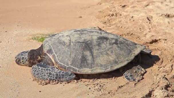 Hawaii-tengeri teknős a homokon