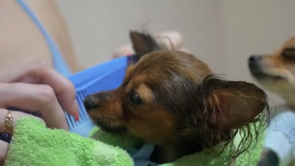 Two different dogs are very funny to dry up after a shower  Long-haired and  short-haired Toy Terrier  Theyre like little kids  Dark Brown That Toy  Terrier combs the combs ears