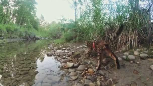 Jedna kočka Bengálsko chodí na zelené trávě. Bengálsko kitty naučí chodit po lese. Asijská kočka se snaží skrývat v trávě. Reed domestikované kočky v přírodě. Kočka domácí na pláži blízko řeky.