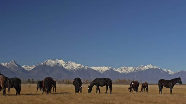 Walking and running horse. Horses moves slowly against the background of the grazing herd. Herd of horses running on the steppes in background snow-capped mountain. Slow Motion at rate of 180 fps.
