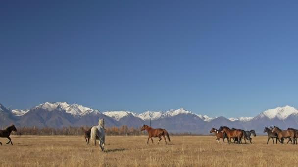 Gyaloglás és futás horse. Csorda ló fut a háttérben hófödte sztyeppek. Lassú mozgás, mértéke 180 fps.