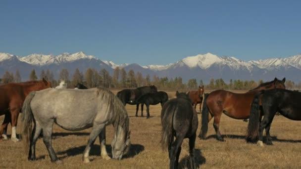 Wander- und Laufpferd. Pferdeherden, die auf den Steppen im Hintergrund des schneebedeckten Berges laufen. Zeitlupe mit einer Geschwindigkeit von 180 fps.