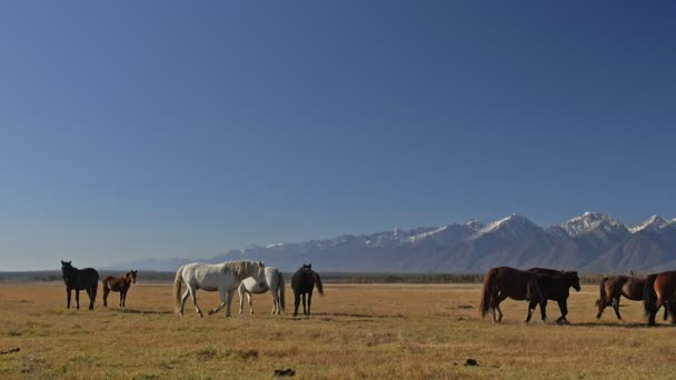Walking and running horse. Herd of horses running on the steppes in background snow-capped mountain. Slow Motion at rate of 180 fps.