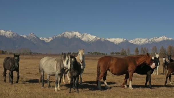Chůze a běh koně. Stádo koní běží na stepi v pozadí zasněžené vrcholky hory. Zpomalený pohyb rychlostí 180 FPS.