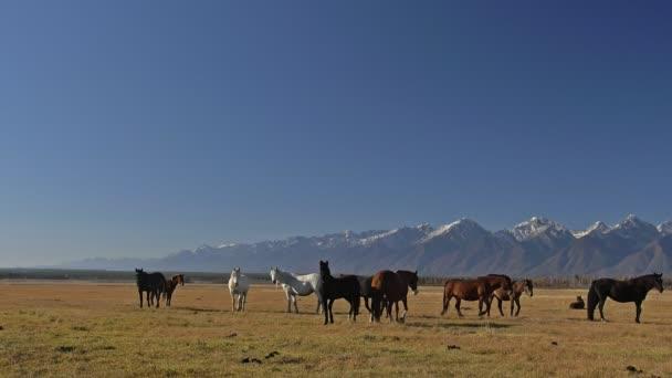 Gehen und laufen Pferd. Herde von Pferden auf den Steppen im Hintergrund schneebedeckten Berg ausgeführt. Zeitlupe mit Rate von 180 fps.