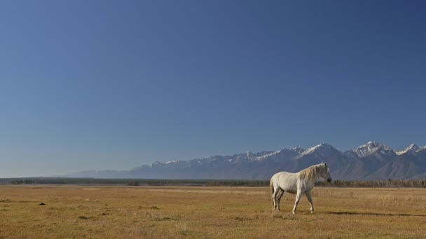 Walking and running horse. White horse is looking into the camera. Horse walking on the steppes in background snow capped mountain. Slow Motion at rate of 180 fps.